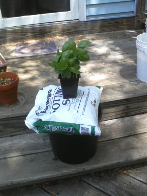 This basil needs to go into a bigger pot as its in the original 4-inch starting pot and it's getting rootbound. Okay: do I have everything? Basil -- check, potting soil -- check, new pot -- check.