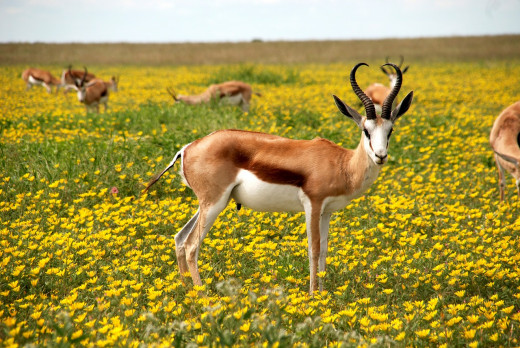 A field full of antelope