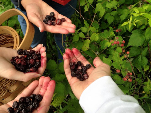 When it's berry picking time in Ohio and Pennsylvania