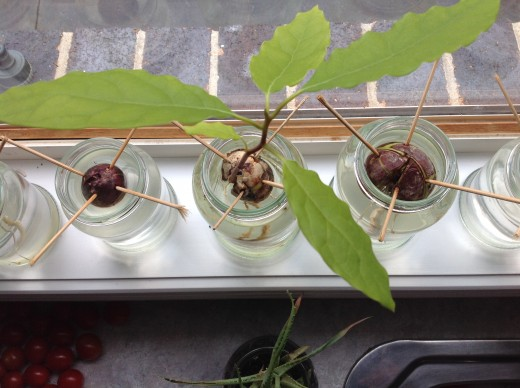 Avocado seedling sprouting after around 8 weeks of being submerged in water