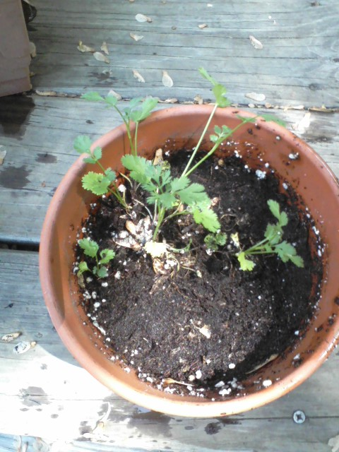 Got most of the maple keys out of this clay pot of cilantro with a gentle rinse.
