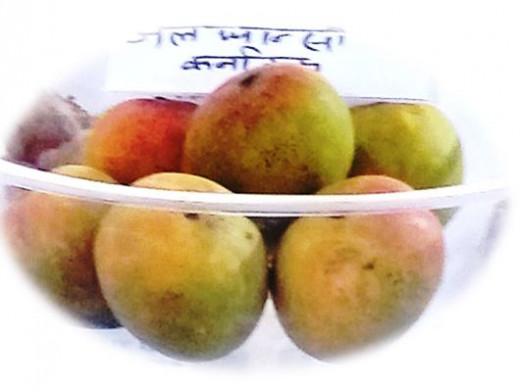 Mango variety Alfanso