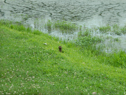 A young mink at Mammoth Spring Park
