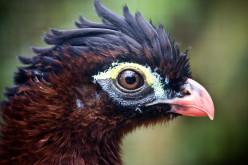 A Look at Bird Orders. part 1 Galliformes