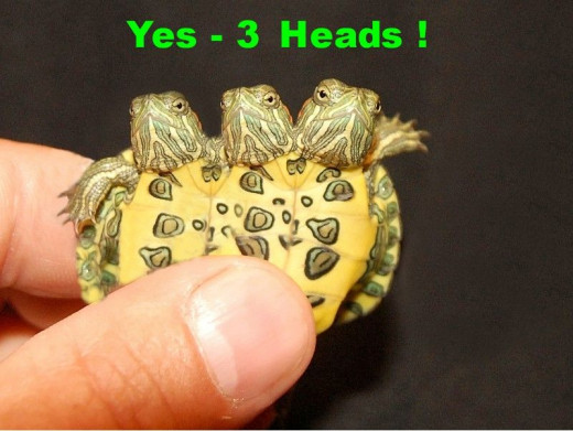 A life time of selective breeding has finally paid off & produced this gem ! We put Two Headed Turtles together for years and years-and finally we hatched this special turtle. . .