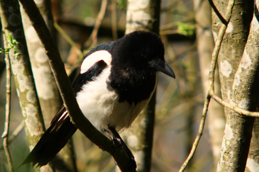 Magpies are shrouded in folklore and myth