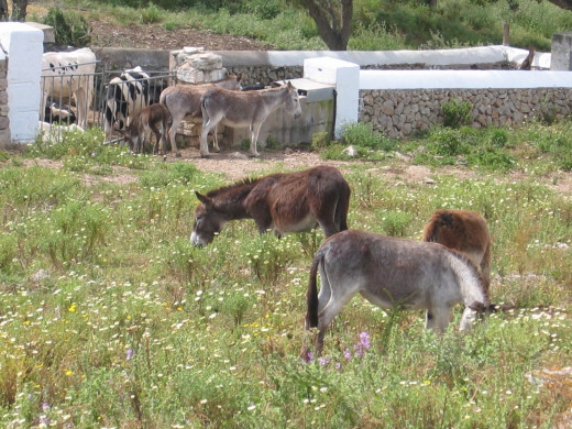 Donkeys are swapped out daily at designated farms along the route. Two new fresh donkeys for the next day.