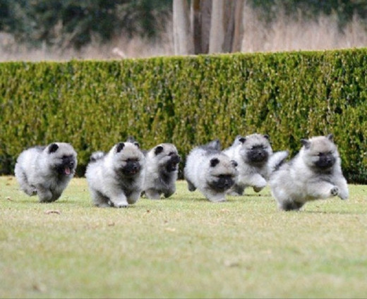 Keeshond Puppies