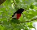 Rose-Breasted Grosbeak Facts, Pictures and Migration