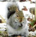 How to Keep the Eastern Gray Squirrel Out of Your Bird Feeder