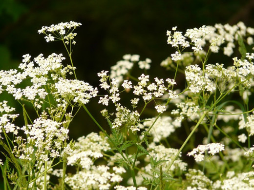 "I don't have enough skirret plants to show you the plants in full flower. This skirret relative looks similar in terms of flowering stems.  Plus I like the phrase ""cow parsley."""