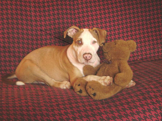 """The unseen consequences of owning a """"pit bull"""""""