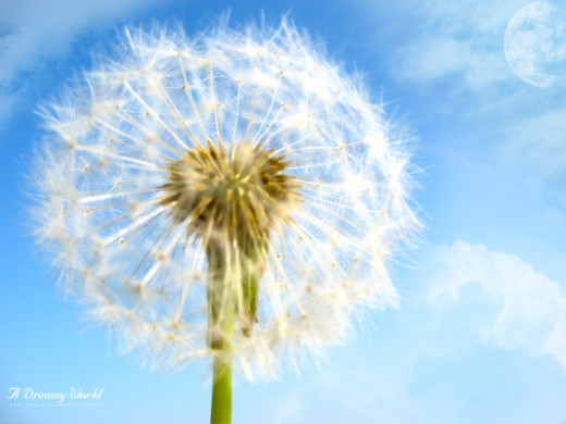 The Dandelion  Plant... Image courtesy of