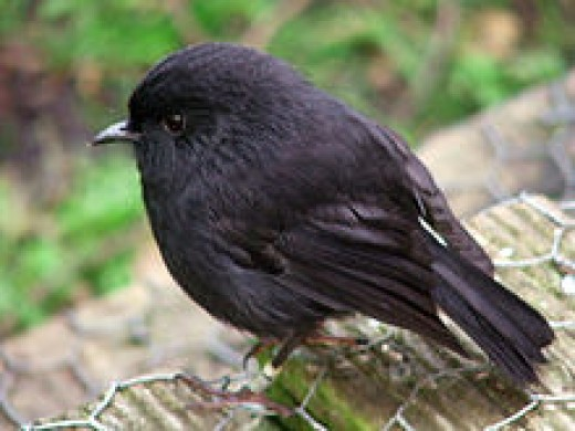 The Black Robin. no bigger than a sparrow