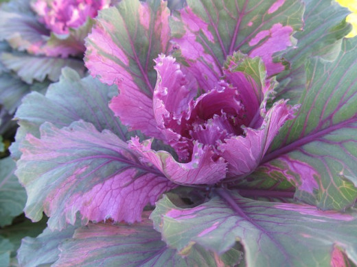 Cabbage, beautiful and healthy