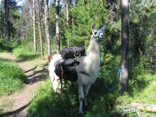 Who can resist a ride on a llama?
