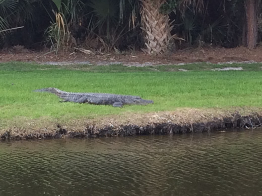 Alligator sun bathing by the water in Sea Pines