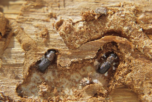 Adult beetles within the phloem of a pine tree