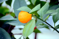 The Multiple Health Benefits of Tangerines