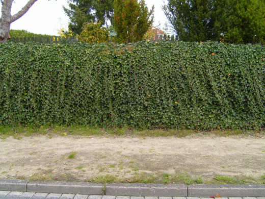 line of shrubs