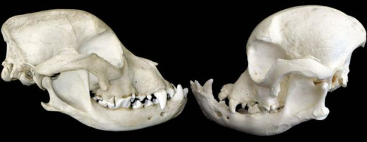 On the left is a Bulldog scull from the 1890's. On the right is a more modern day Bulldog scull.