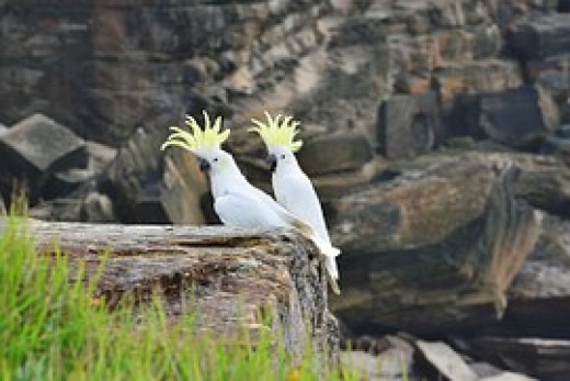 A pair of Sulphur crested Cockatoos