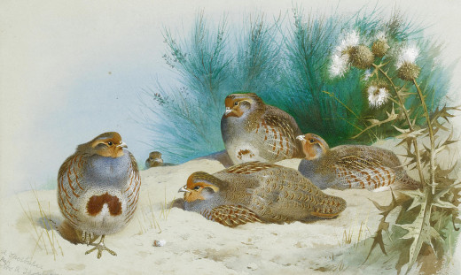 Illustration courtesy of Archibald Thorburn
