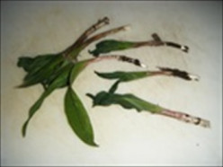 Forage for Ramps (Wild Leeks) and What to Do With Them !