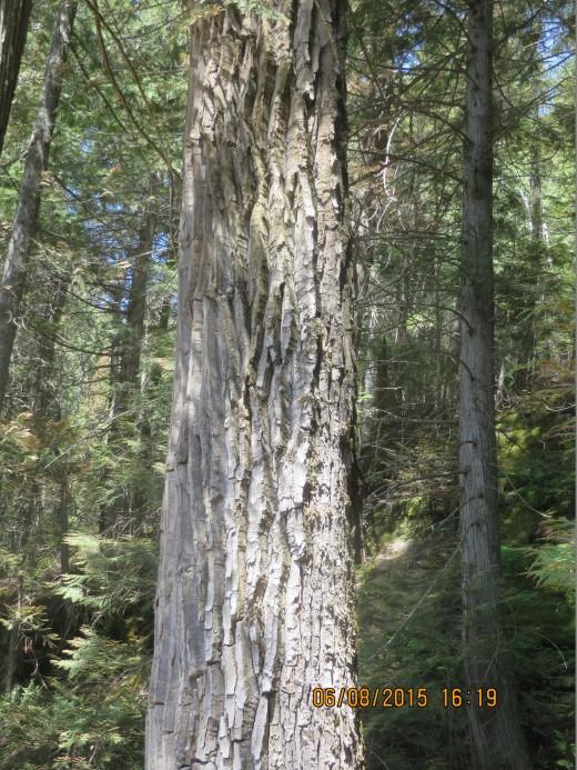 BARK OF COTTONWOOD TREE