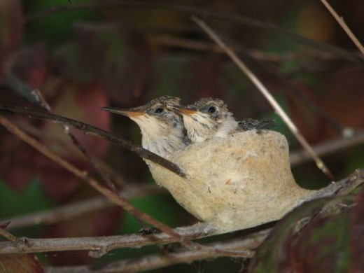 Baby Hummingbirds outside bedroom window. (photo by Douglas James)