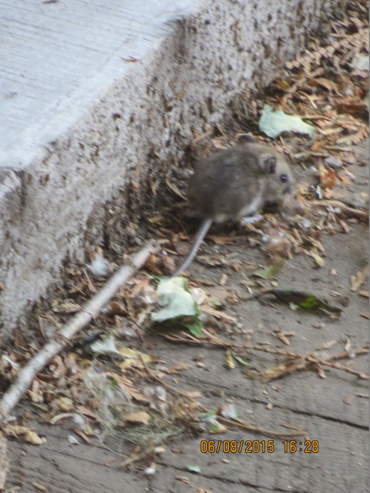 I HAVE NEVER SEEN A VOLE BEFORE, HAVE YOU?