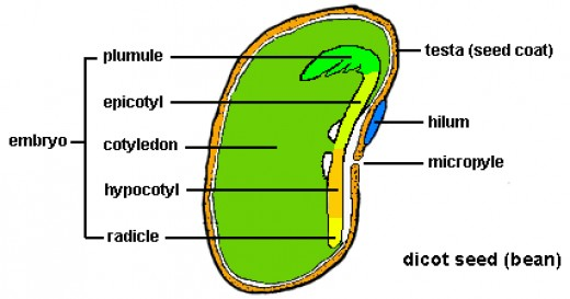 Inside The Seeds Embryo