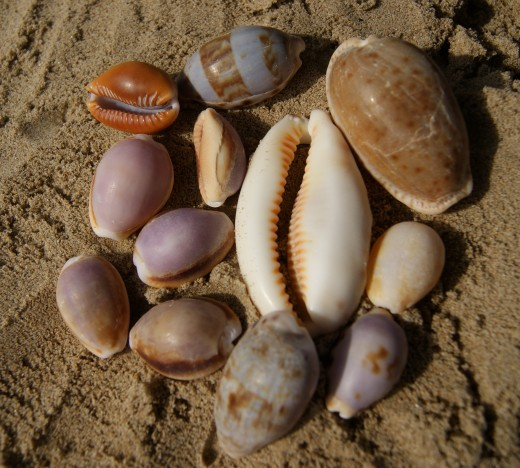 Collection of Cowries from Wild Coast Beaches
