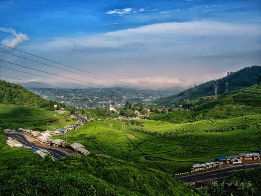 Green Tea Plantation at Puncak