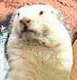 The Late Wiarton Willie (from a CBC News photo)