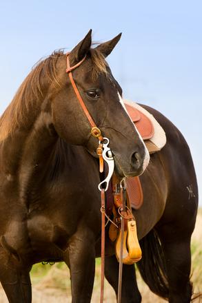 A saddlehorse
