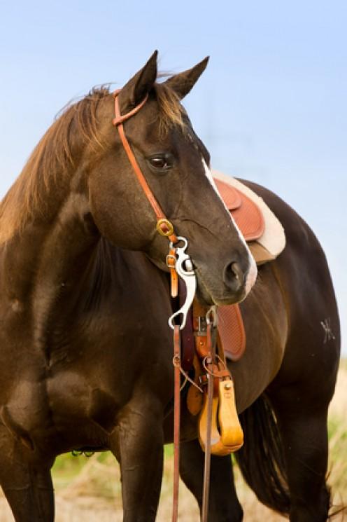 Saddlehorse