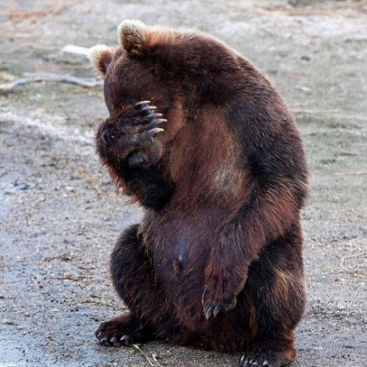 "This poor bear just saw your Facebook page and is experiencing ""Myötähäpeä"""