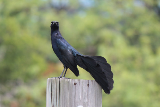 Great-tailed Grackle making a display to announce his territory.