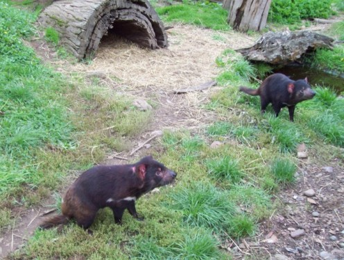 More Tasmanian Devils.