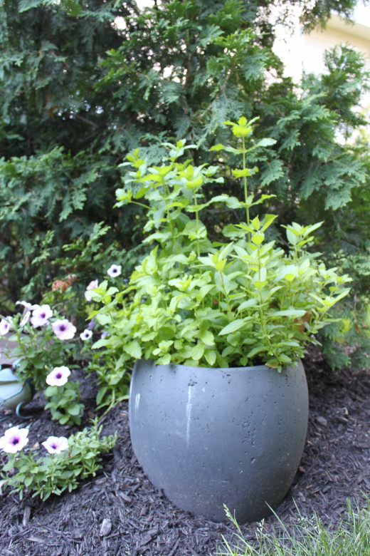 I grow my mint in a concrete pot in my garden. This prevents the mint from getting out of control.