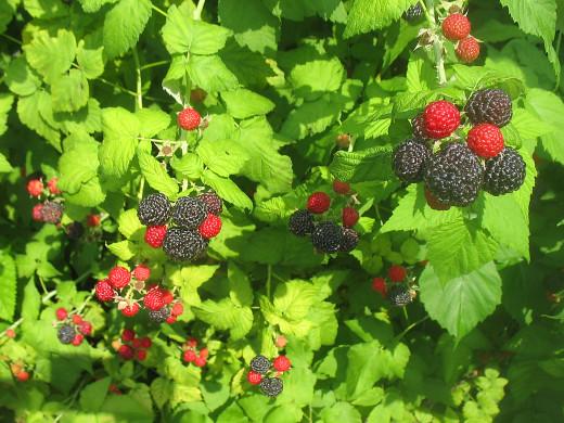 Black and red raspberries.