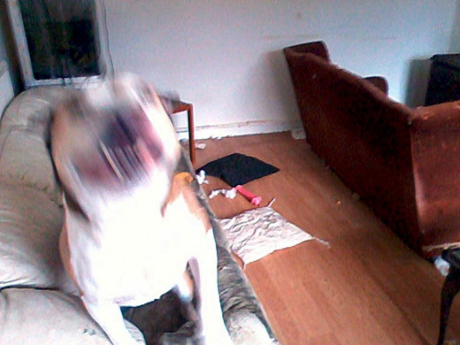 The settee was pushed to the centre of the room by the dogs and cushions ripped up. The blur (left) is Happy Buster bouncing around, knowing something bad had happened!