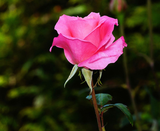 This rose looks beautiful, but pluck all the petals one by one from the stem and it won't look beautiful anymore.