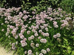 Alliums at Morton Arboretum