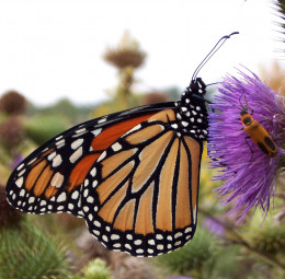 Monarch butterfly at the Morton Arboretum