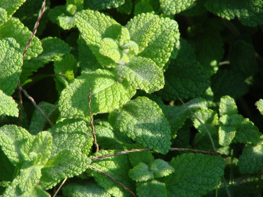 Peppermint will act as an expectorant.