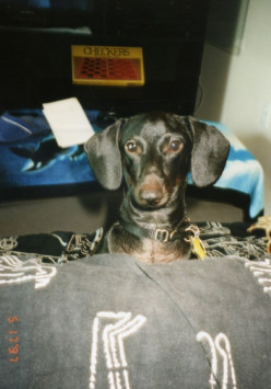 The Day My Beloved Dachshund, Charlie, Passed Away