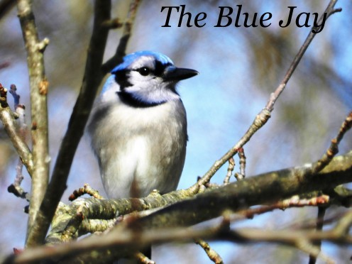 The Blue Jay is a beautiful and intelligent bird with some interesting behaviors.