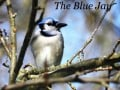 Blue Jay Bird Facts, Pictures and Behavior
